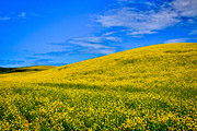 Lear Metal Prints - Palouse Canola Fields Metal Print by David Patterson