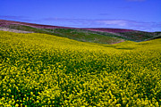 Canola Field Prints - Palouse Hills Canola Fields Print by David Patterson