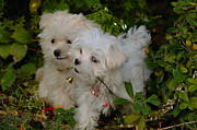Maltese Dogs Photos - Pals by Lynn Bauer
