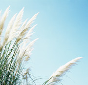 Pampas Grass Framed Prints - Pampas Grass Framed Print by Cristina Pedrazzini