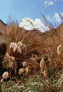 Pampas Grass Framed Prints - Pampas Grass Growing Wild Framed Print by Sinclair Stammers
