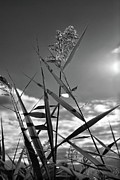 Clouds Prints Framed Prints - Pampas Grass II Framed Print by Angie McKenzie