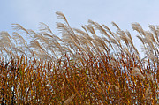 Pampas Grass Prints - Pampas Grass in the Wind 1 Print by Mary Machare