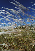 Mustique Photos - Pampas Grass by Peter Falkner