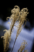 Pampas Grass Framed Prints - Pampas Grass Wall Art Framed Print by M K  Miller