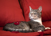Cat Photos Photos - Pampered Pet by Mandy Wiltse
