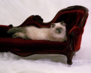 Lounges Photos - Pampered Pussy Cat by Crystal Garner