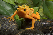 Frontal Metal Prints - Panamanian Golden Frog Atelopus Zeteki Metal Print by San Diego Zoo