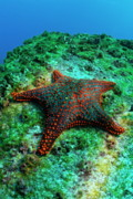 Espanola Framed Prints - Panamic Cushion Star Framed Print by Sami Sarkis
