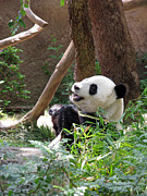 Greeting Card Prints - Panda At San Diego Zoo #82 Print by Ausra Paulauskaite
