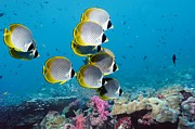 Indonesian Wildlife Prints - Panda Butterflyfish Print by Georgette Douwma and Photo Researchers