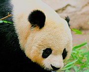 Panda Bears Photos - Panda  by Cheryl Young