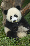 Panda Bears Photos - Panda Cuteness by Craig Lovell