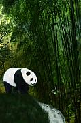 Panda Mixed Media - Panda In The Bamboo Forest by Emma Alvarez