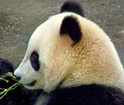 Zoo Animals Photos - Panda Snack by Karen Wiles