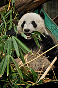 Zoo Photo Originals - Pandas appetizer by Matt MacMillan