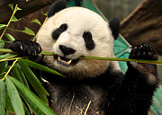 Zoo Photo Originals - Pandas toothpick by Matt MacMillan