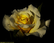 The Flower Photographer - Panna di Limone by Glenn Franco Simmons