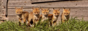 Paws Framed Prints - Panoramic Fox Kits Framed Print by Mark Duffy