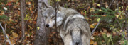 Canine Digital Art - Panoramic Gray Wolf Yukon by Mark Duffy