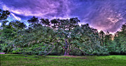 Tallahassee Prints - Panoramic Oak Print by Alex Owen