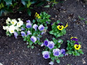 Field Photographs Posters - Pansies Poster by Deborah  Crew-Johnson