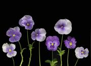 Purple Pansy Prints - Pansies Print by Deddeda