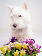 Westie Puppy Prints - Pansies Print by Edward Fielding