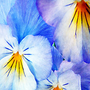 Violet Photos - Pansies in Blue Tones by Darren Fisher