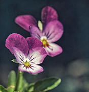 Macro Photography Photos - Pansies in the Sun by Kristin Kreet