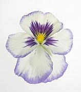 Purple Pansy Prints - Pansy 2 Print by Tony Cordoza