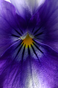 Flora Art - Pansy Abstract by Lisa  Phillips