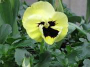 Aj Brown Metal Prints - Pansy Metal Print by AJ Brown