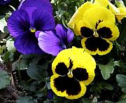 Flower Bed Prints - Pansy Boys Print by Paul Anderson