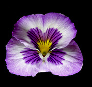 Flower Works Photos - Pansy. by Chris  Kusik