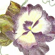 Color Pencils Prints - Pansy Girl Print by Anne-Elizabeth Whiteway