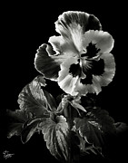 Flower Photos Metal Prints - Pansy in Black and White Metal Print by Endre Balogh
