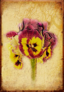 Grunge Digital Art - Pansy by Margaret Hormann Bfa