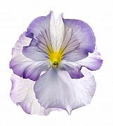 1-up Framed Prints - Pansy Framed Print by Tony Cordoza