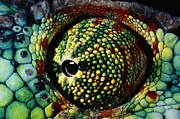 Reptiles Photos - Panther Chameleon Eye by Daniel Heuclin and Photo Researchers