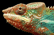 Panther Chameleon Print by MarkBridger