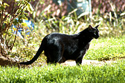 Black Cat Photos Photos - Panther in the backyard by Cheryl Poland