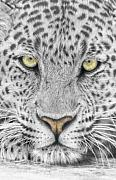 Close-up Mixed Media Framed Prints - Panthera Pardus - Leopard close-up Framed Print by Steven Paul Carlson