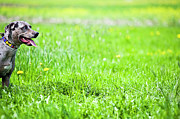 Close Focus Nature Scene Photo Posters - Panting Dog Standing In Meadow Poster by Stock4b-rf