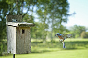 Bringing Prints - Papa Bluebird Bringing Supper Home Print by Bonnie Barry