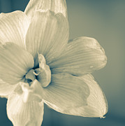 Monochrome Posters - PAPER AMARYLLIS white amaryllis flower on watercolour background Poster by Andy Smy