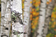 Autumn Scenes Framed Prints - Paper Birch - An autumnal abstract Framed Print by Thomas Schoeller