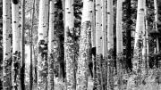 Julia Lueders Photos - Paper Birch by Julie Lueders