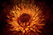 Strawflower Photos - Paper Daisy by Wenata Babkowski