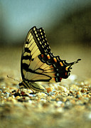 Maryland Photos - Papilio glaucus Eastern Tiger Swallowtail by Rebecca Sherman